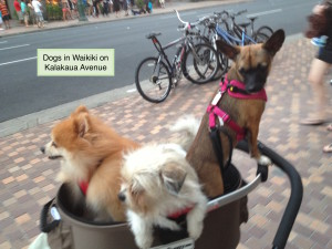 Dogs on Kalakaua Ave, Waikiki