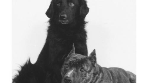 American Staffordshire Terrier & Flat Coated Retriever