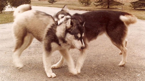 Siberian Huskies Playing
