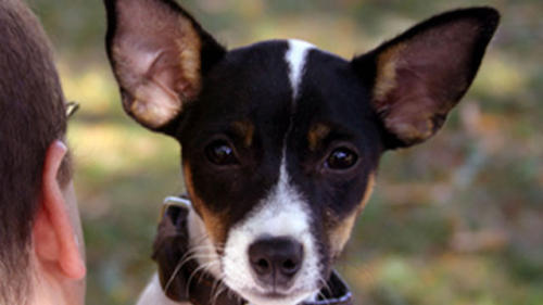 Rat Terrier Puppy, Obey