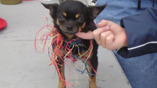 3.5 pound Chihuahua